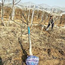 山西12公分绿化核桃树质量可靠图片