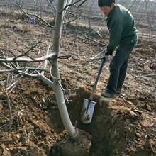 12公分绿化核桃树量大从优图片