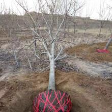 山西6公分裸根核桃树产地直供图片