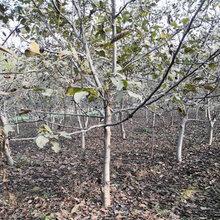 山西15公分核桃树品质优良图片