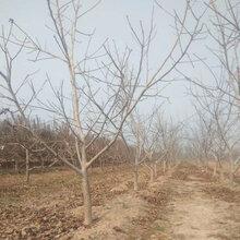 山西10公分核桃樹量大從優圖片