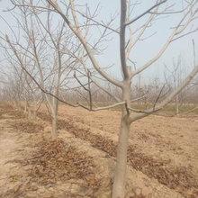 河南6公分呈盛苗圃核桃树图片