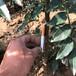 呈盛苗圃無刺花椒,甘肅1年花椒苗批發