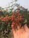 河南种植花椒苗价格,无刺花椒