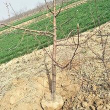 四川15公分蘋果樹品質好圖片