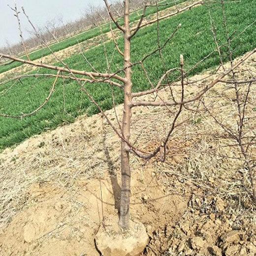陜西藤木一號蘋果樹