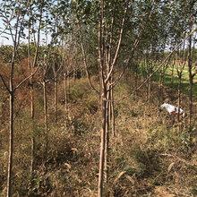 湖南15公分苹果树品质好图片