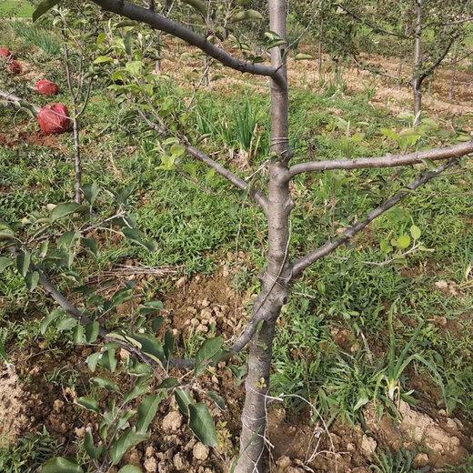 聊城蘋果樹信譽