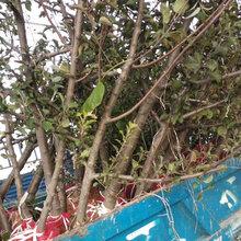 陕西高产苹果树品种图片