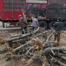 河南8公分苹果树价格图片