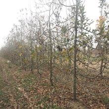 四川5公分苹果树规格图片