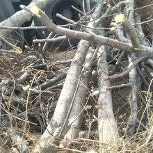 山东2公分苹果树供应图片