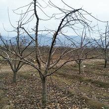 四川8公分苹果树产地图片