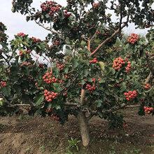 呈盛苗圃红果树,山西15公分山楂树规格齐全图片