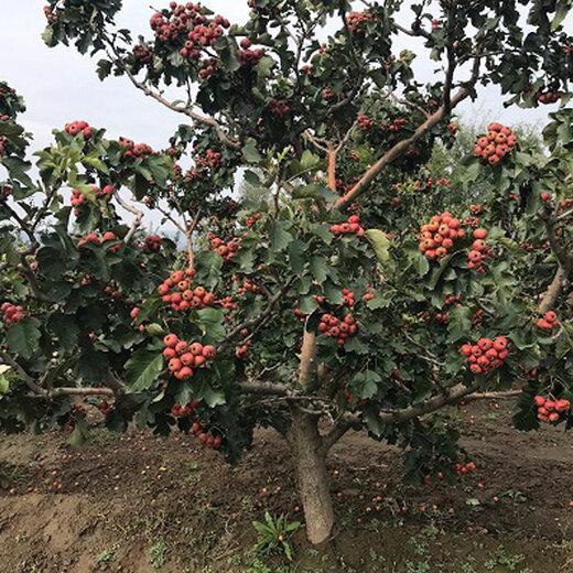 甘肅12公分山楂樹規格