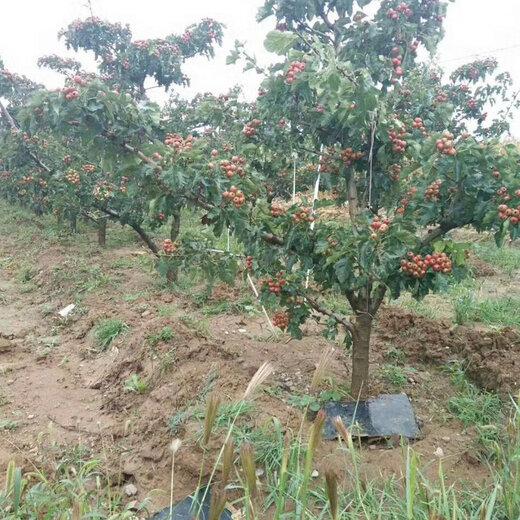 遼寧山楂樹價格,紅果樹