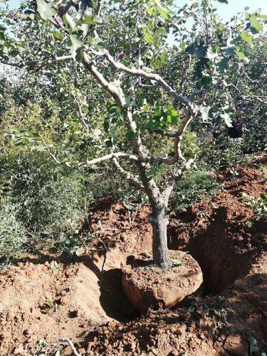 山西地徑15公分山楂樹量大從優,紅果樹