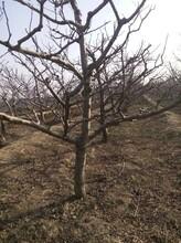 蚌埠山楂樹,紅果樹