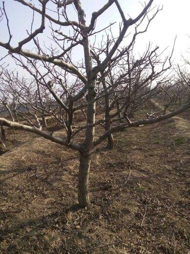 麗水山楂樹
