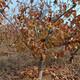 甘肅純甜山楂樹品質好圖