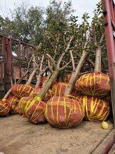商丘种植山楂树供应,红果树图片