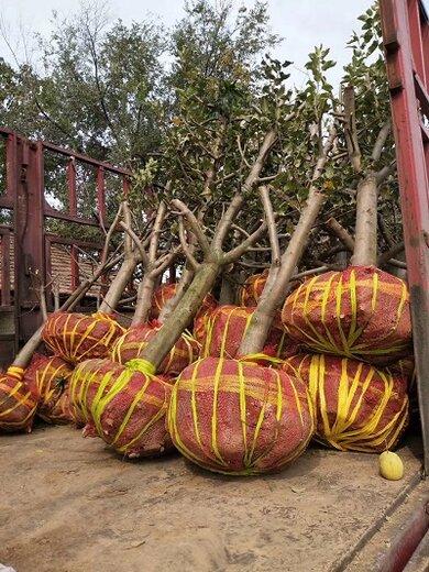 合肥山楂樹品種,紅果樹