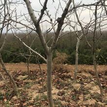 種植山楂樹哪個品種好,紅果樹