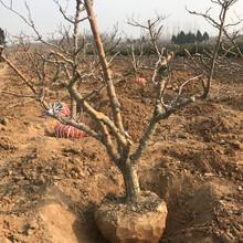地徑15公分山楂樹品質優良,紅果樹