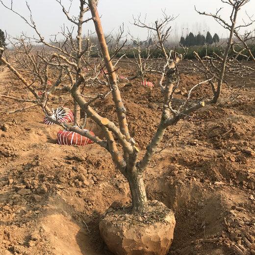 承接山楂樹介紹,紅果樹