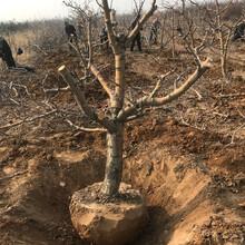5公分山楂樹價格,紅果樹