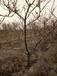 呈盛苗圃红果树,山西12公分全冠山楂树造型美观
