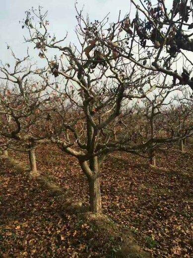 呈盛苗圃紅果樹,山東5公分山楂樹基地