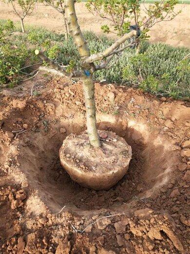 山西15公分半冠山楂樹規格,紅果樹