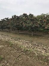 貴陽20公分山楂樹價格,紅果樹