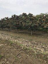 山西12ub8优游娱乐手机分全冠山楂树批发,红果树图片