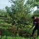 柿子樹怎么樣圖