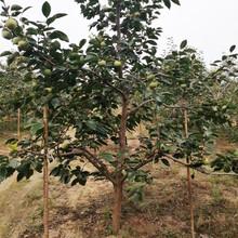 葫蘆島20公分柿子樹