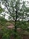 柿子樹造型美觀圖