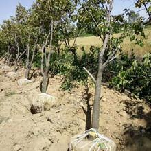 北京柿子樹產地直批