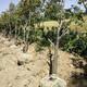 河南柿子樹圖