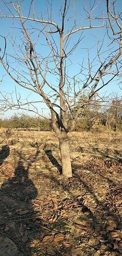 山西高產柿子樹品種