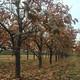 河南12公分柿子樹圖