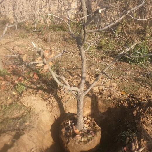 北京柿子樹價格
