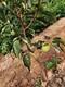 柿子樹多少錢一棵圖