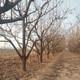 柿子樹信譽圖