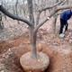 貴州8公分柿子樹規格圖