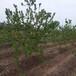 呈盛苗圃凱特杏樹,湖北銷售杏樹價格