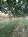 貴州3公分杏樹產地