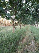 呈盛苗圃凯特杏树,河北优质杏树品质好图片