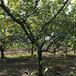 广东3公分杏树基地,凯特杏树